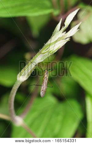 The mosquito dolgonogi or karamora (lat. Tipulidae) - a family of two-winged insects of the suborder long mustache (Nematocera).