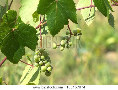 Green grapes ripen on branch of the vine on hot summer day close-up view