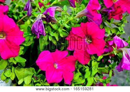 Petunia Flowers Bloom In The Garden