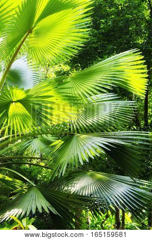The leaves of a palm plant spread out within a garden in Chiang Mai zoo thailand.