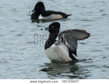 RING NECKED DUCK FLAPPING HIS WINGS ON A POND