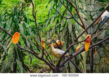 Pigeons eating papaya, Kuala Lumpur Bird Park, Malaysia. Torresian imperial pigeon is found in forest woodland savanna mangrove and scrub and feeding almost exclusively on fruit.
