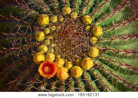 A vividly colored close-up photograph of a ring of yellow buds with a single orange flower sitting atop a barrel cactus. The morning sun slants across the cactus highlighting the green body and red spines of the cactus.