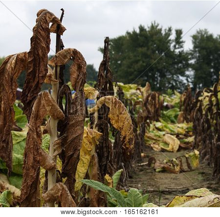 Tobacco plants in the test plot that have been claimed by disease.