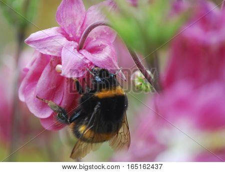 Bumble bee collecting pollen on a pink aquilegia flower