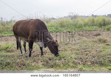 Cow In A Farmland Eating Grasses