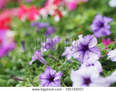 close up purple petunia flowers in spring season.