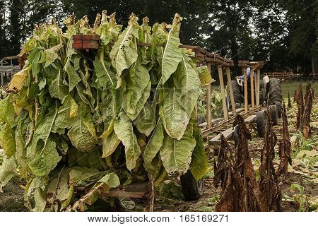 Harvest in the small test plot where the various tobacco diseases are being studied.