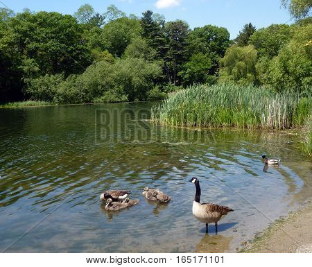 Geese and goslings on the water surface