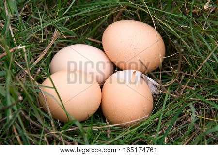 three chicken eggs lying in a green grass.