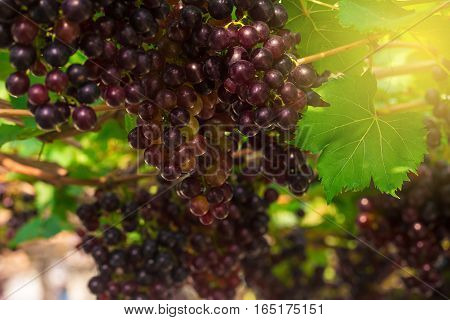 Ripe Berries Of Red Grape On Tree Branch