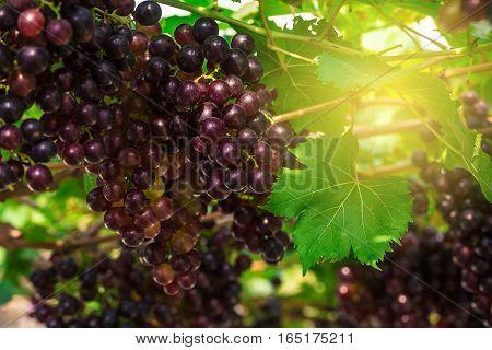 Red Vine Grape Bunch On Branch