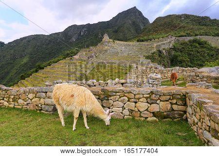 Llama Grazing At Machu Picchu In Peru