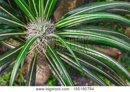 Madagascar Palm, Club Foot, Pachypodium Lamerei