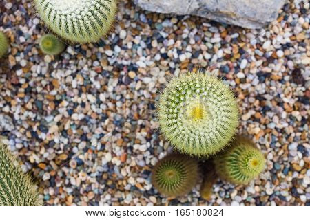 Cactus Growing In Rock Bed, Succulent Plant