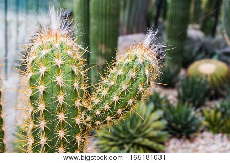 Cactus Growing With White Fur In Rock Bed, Succulent Plant, Selective Focus Technic