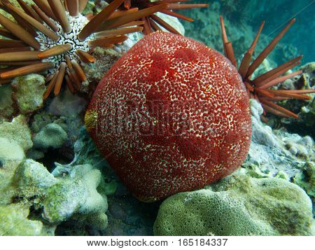 A red cushion star among the coral and pencil sea urchins off the island of Maui.