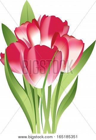 Bouquet of pink tulips on white background vector illustration