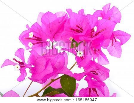 Pink blooming bougainvilleas isolate on white background with Clipping path. flower, plant, leaf, decorative