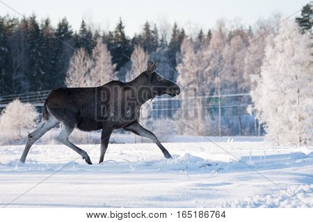 Mother moose trotting in snow on a sunny winter day in Sweden same posiyton as the Swedish road signs.