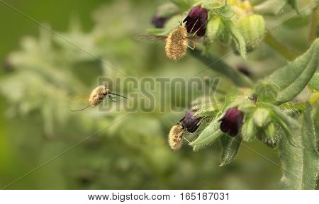Tree furry bee-fly (Bombylius major) pollinating monkswort flower (Nonea pulla) on meadow poster