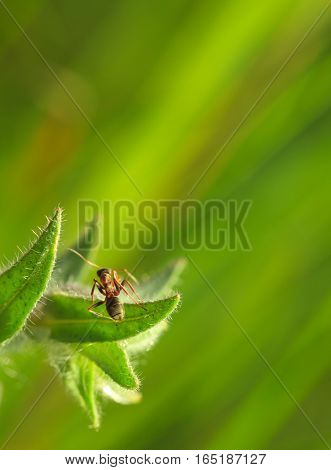 Ant On Nonea Leaf