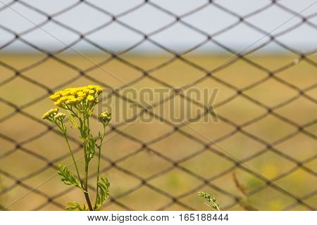 Tansy flowers on the field. Tansy flowers on the background of the fence from the grid.