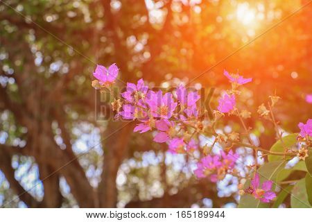 Pink crape myrtle Lagerstroemia speciosa or jarul flower with sunset light tone