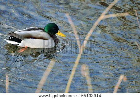 Male bird (drake) of wild duck (mallard) swims in the water