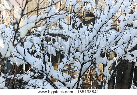 White snow on the branches of cherry