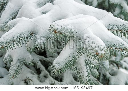 Spangled frosty snow on a branch young spruce in city park