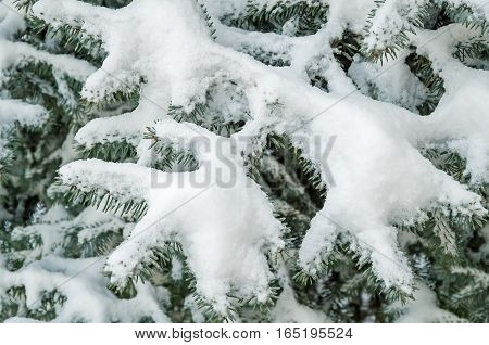 Spangled silvery snow on a branch young spruce in city park
