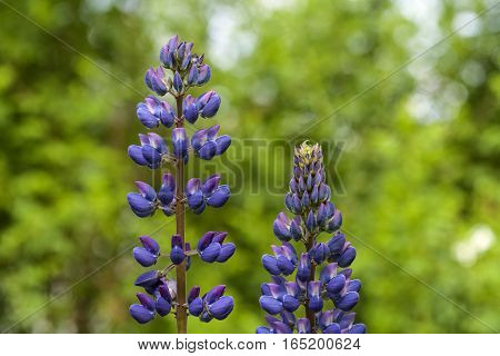 Closeup, macro of violet lupine flowers. Green and fuzzy background.
