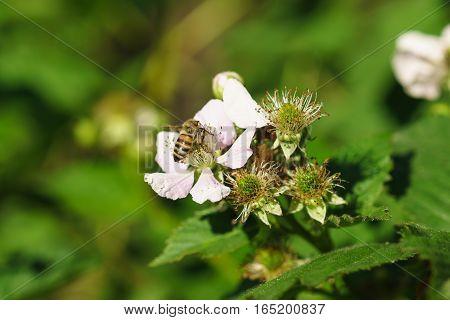 Bee on the flowers of blackberries (lat. Rubus)