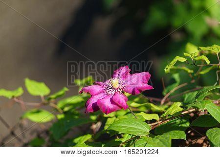 Flower variety of clematis Ville de Lyon (Clematis Ville de Lyon). Group Vititsella