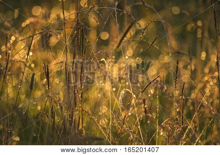 Gilded meadow herbs in evening light setting the sun
