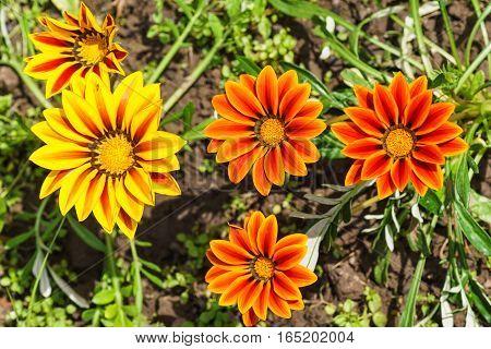 Hybrid gazania (lat. Gazania hybrida) or African Daisy in the flowerbed