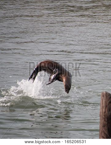 Sea Lion Jumping Out Of The Water Like A Dolphin