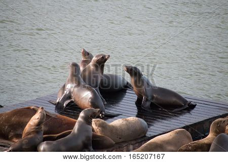 Sea Lions Sitting On A Wooden Palette