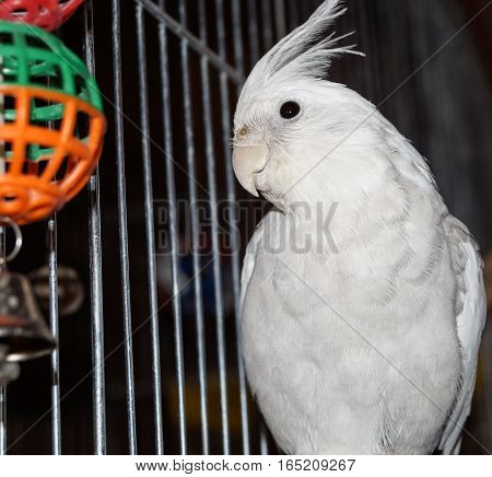 handsome parrot Corelli staring at a toy
