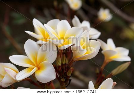 Plumeria Vintage Tone on the plumeria tree