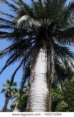 Jubaea chilensis (ivory palm) in Park