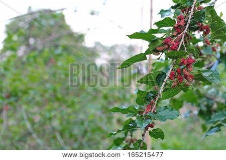 Red Unripe Mulberries On The Branch.