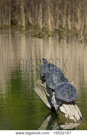 Three Turtels On A Tree