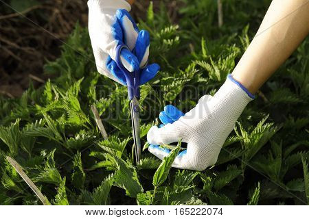 Hands In Textile Gloves Cutting The Green Nettle With Sissors In The Vegetable Garden In Spring
