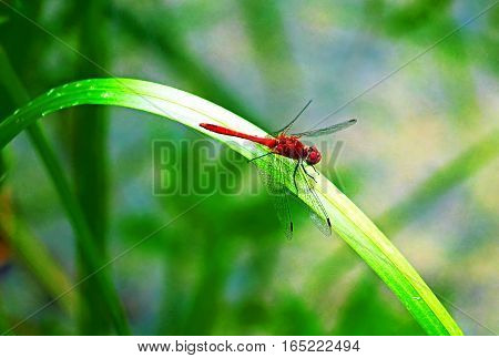 Flame Skimmer Dragonfly on a leaf in the summer
