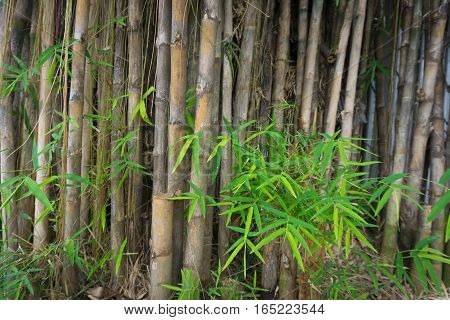 Bamboo tree with green leaves photo taken in Jakarta Indonesia java