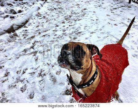 Sweater Wearing Dog