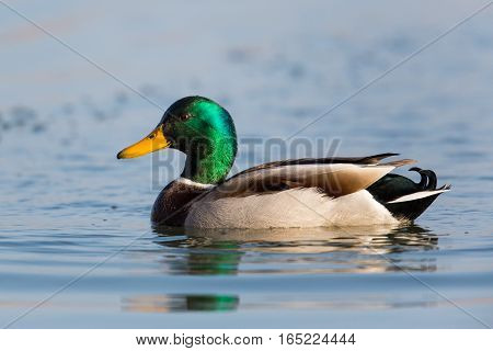 portrait of natural swimming male mallard (Anas platyrhynchos)