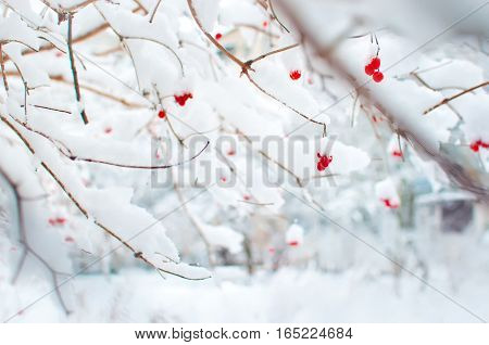 Several red ripe fruits of viburnum covered in snow and hanging on branches in a garden. Cold winter day in January